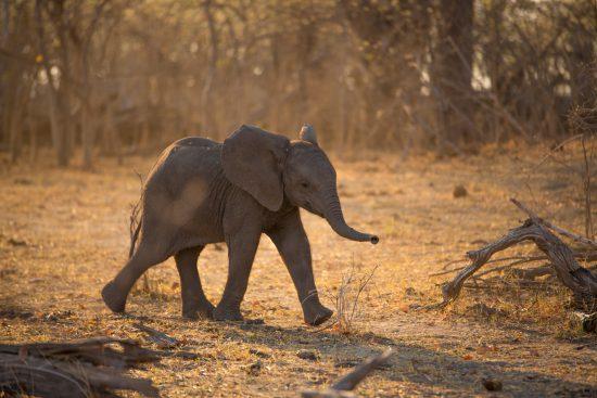 A baby elephant walking