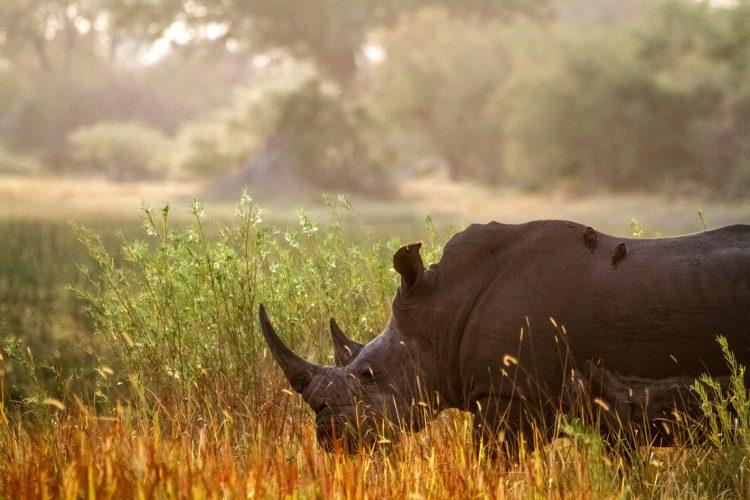 Rinoceronte blanco con aves en la espalda