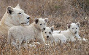 Famille de lions blancs relâchée dans la nature après des années de captivité