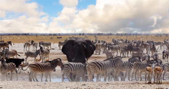 An elephant stands among herds of zebra at the waterhole