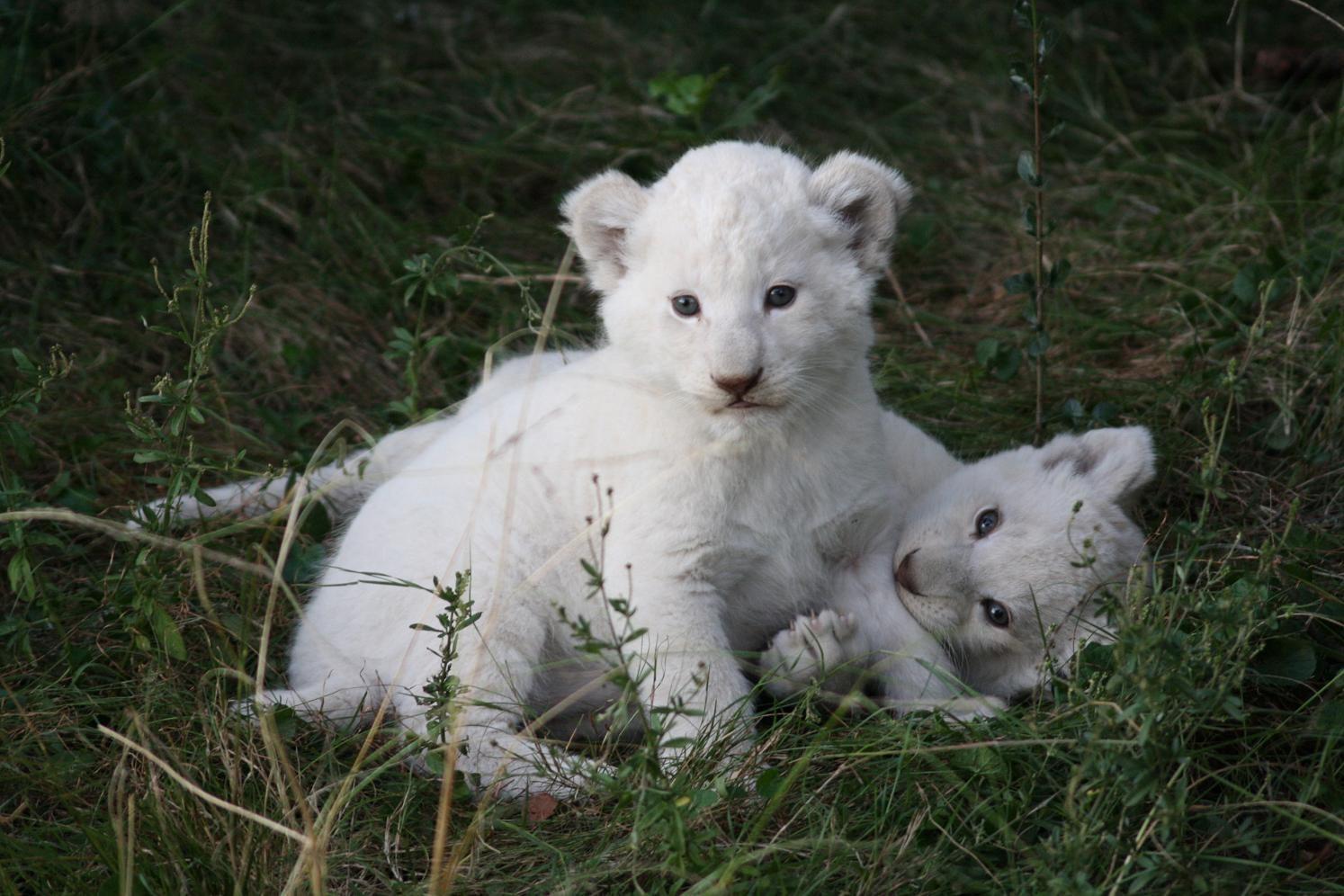 Weiße Baby-Löwen Weißer Löwe im Pumba Private Game Reserve in Südafrika