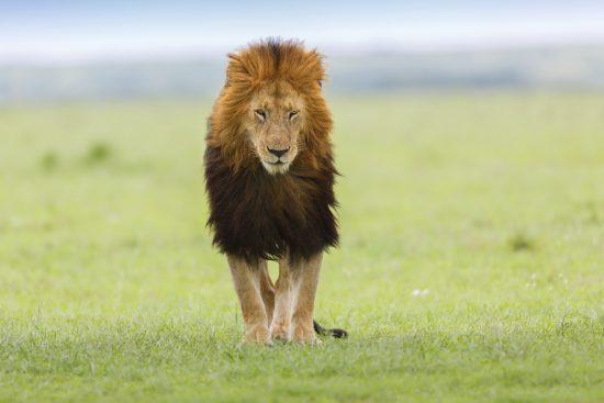 A black maned lion