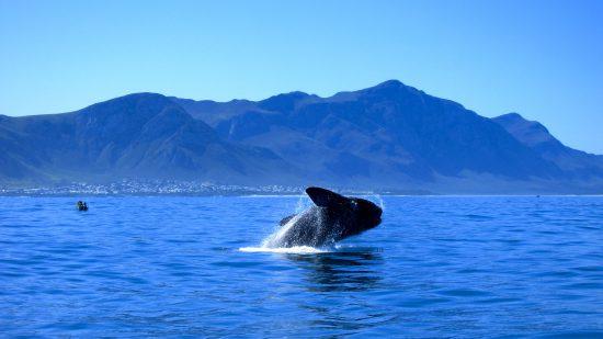 Saut de baleine dans la baie de Walker Bay à Hermanus.