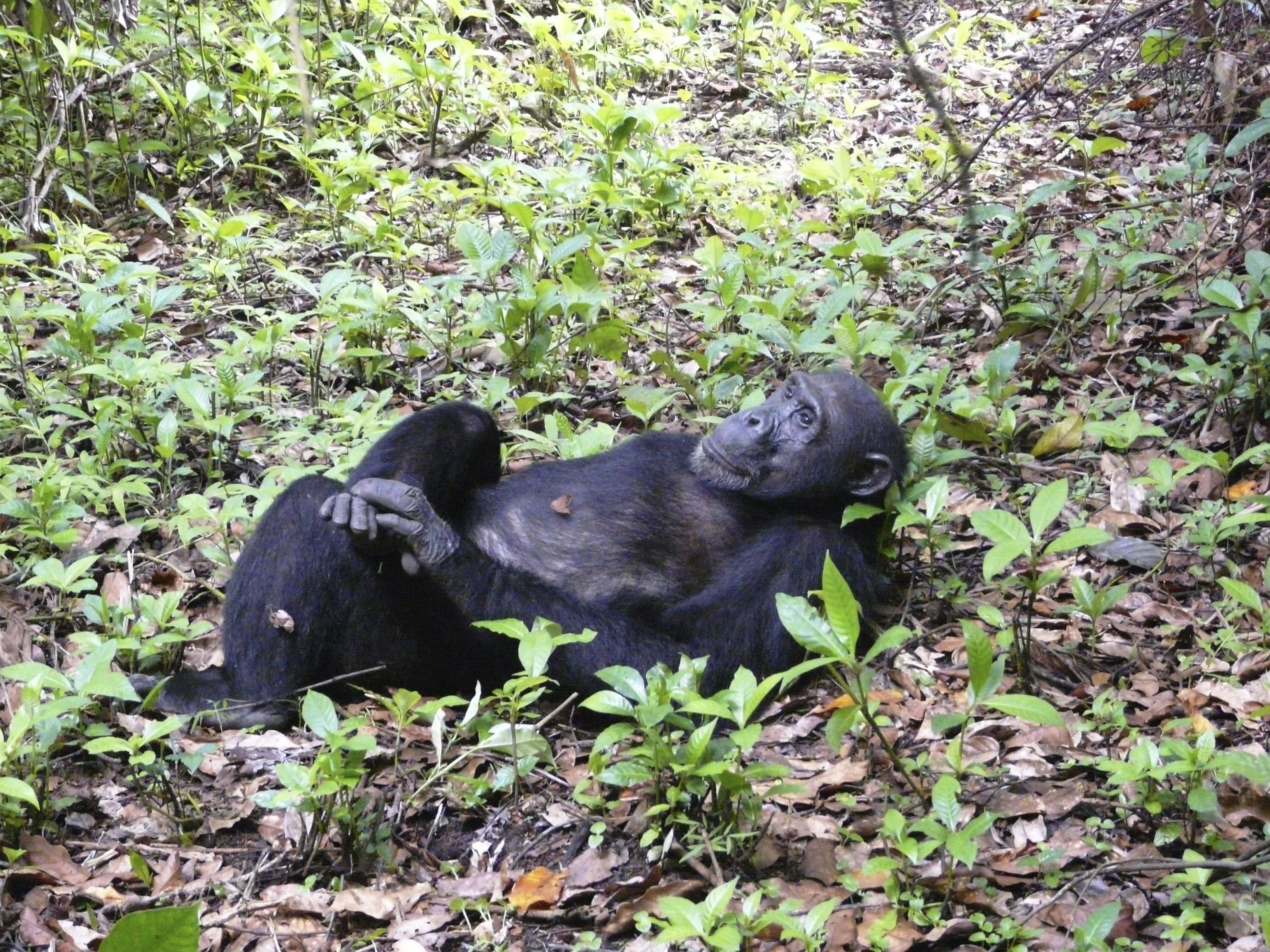 relaxing chimp