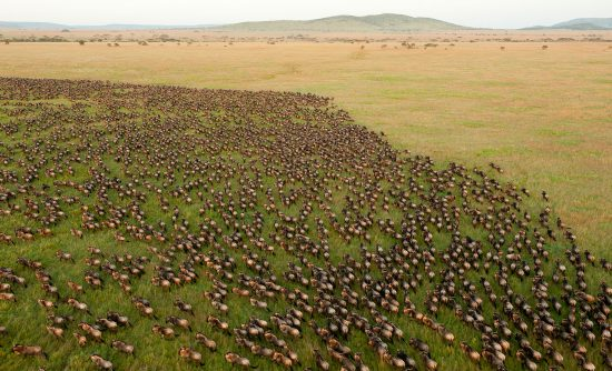 Wildebeest migration birds eye view