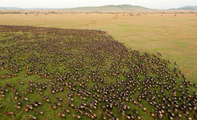 Vista aérea da Grande Migração dos Gnus