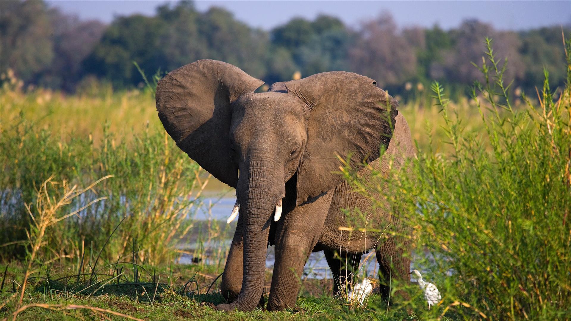 baby-elephant-walking-on-grass-zambezi-national-park.jpg