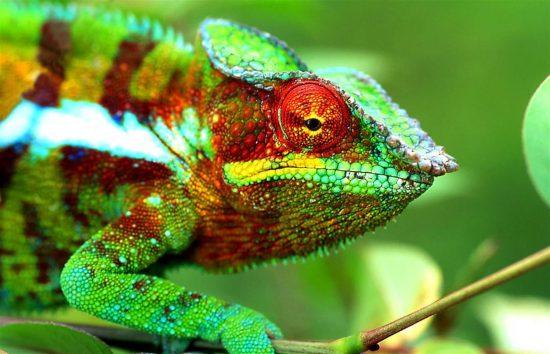 Colourful chameleon in Madagascar