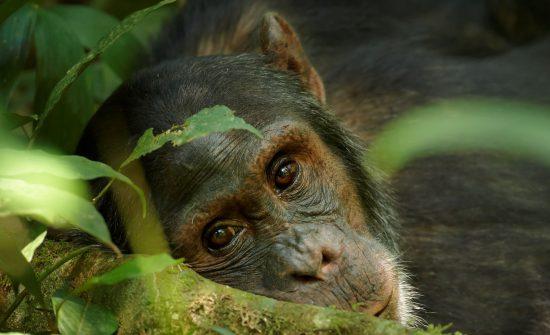 Nahaufnahme eines verträumten Schimpansen