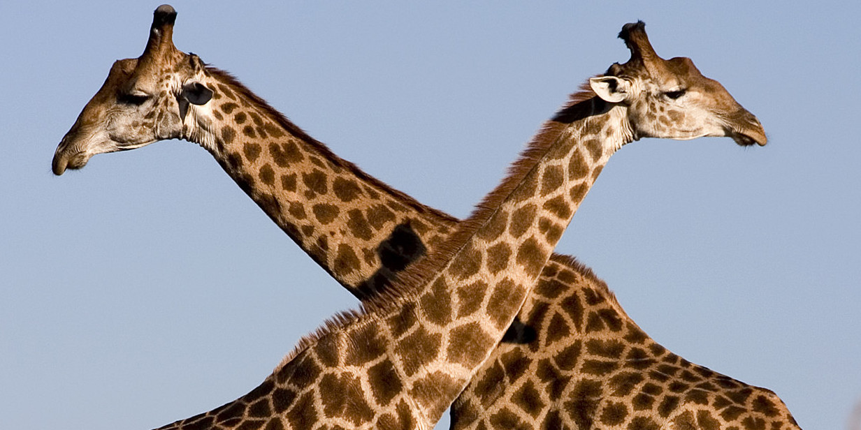 Strange Love: 7 Head-scratching Mating Habits from Africa