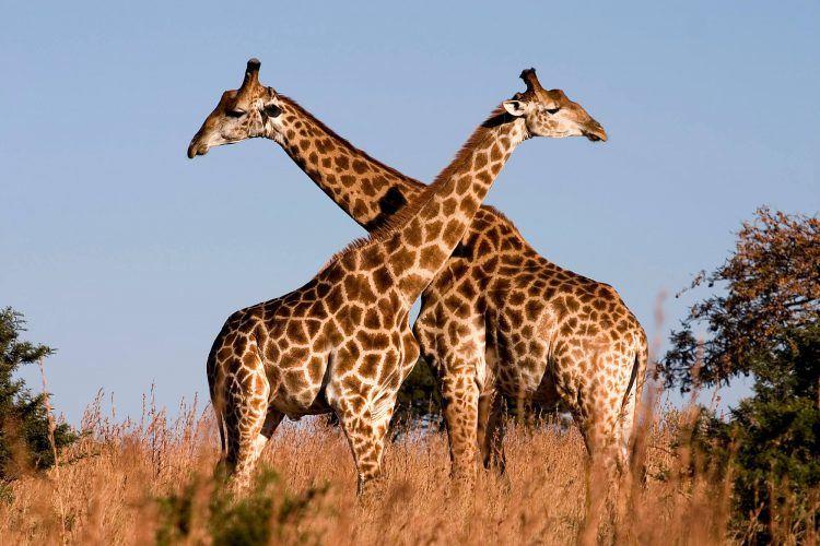 Two giraffes embracing