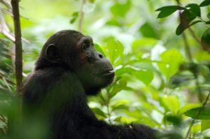 Chimpazé dans le Parc National de Mahale, Tanzanie