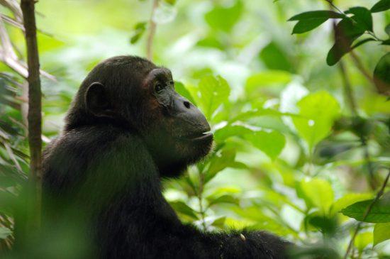 A chimpanzee in a forest