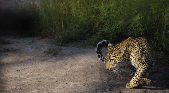 Ein Leoparde schleicht durch den Krüger Nationalpark