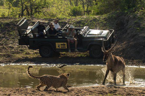 A cheetah prepares to attack a buck