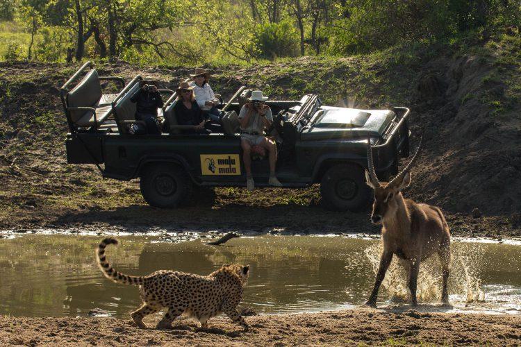 leopard attackieren büffel