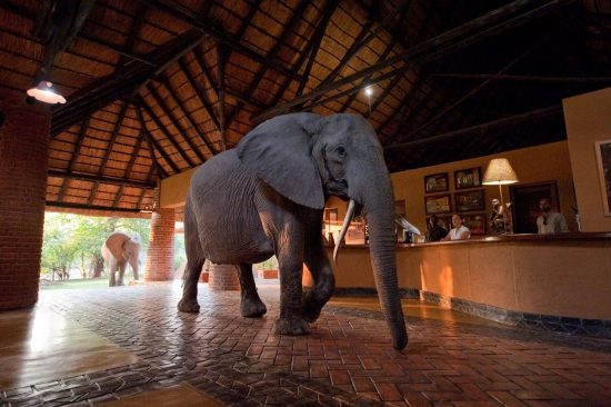 An elephant  walks into reception