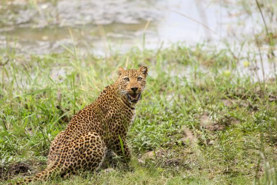 A leopard close to water in Zambia
