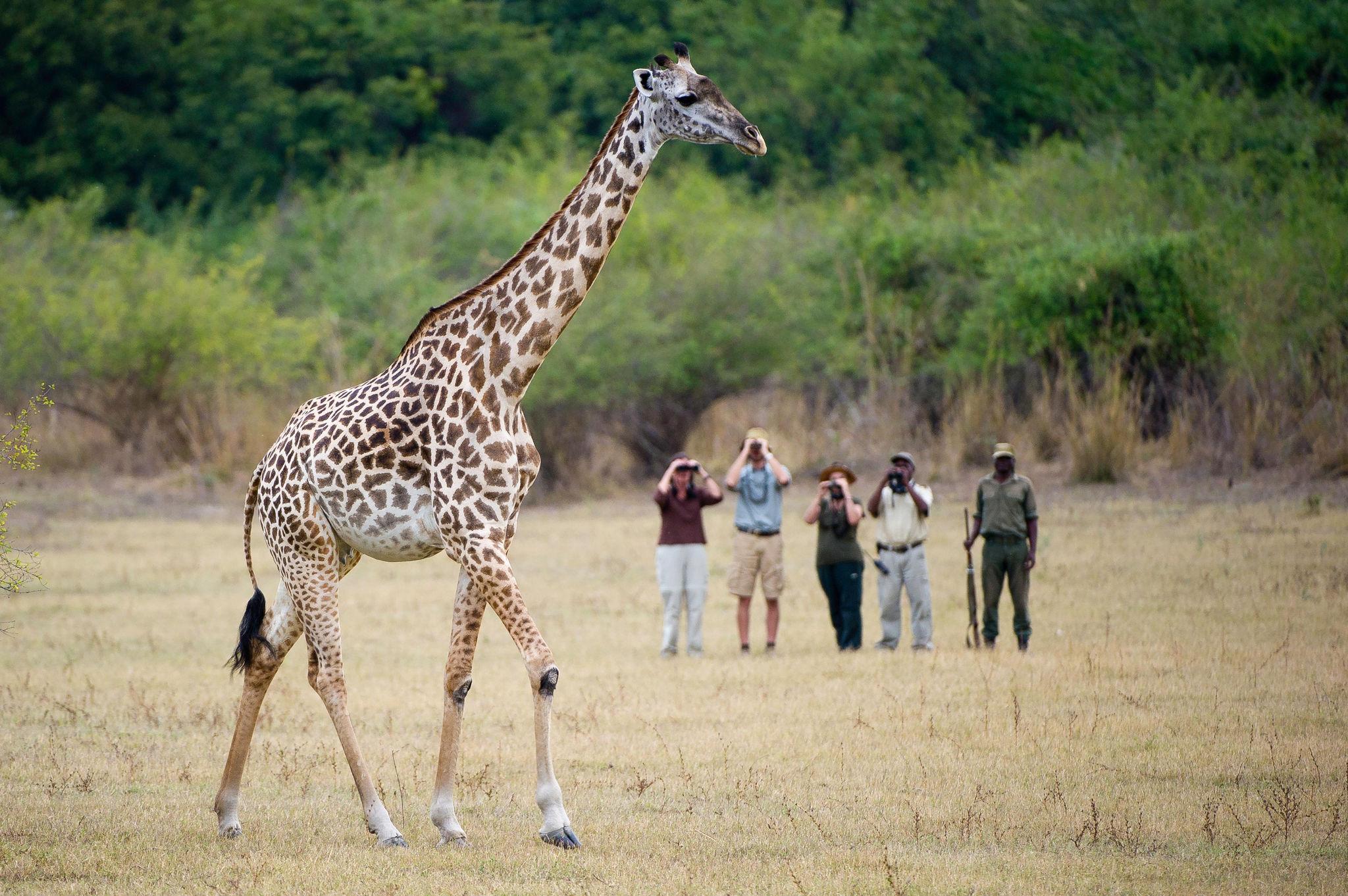 walking safari with giraffe