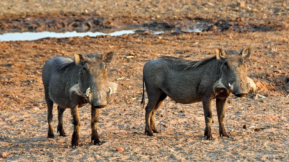 two warthogs standing