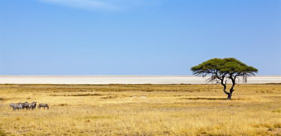 A herd of zebras in Etosha