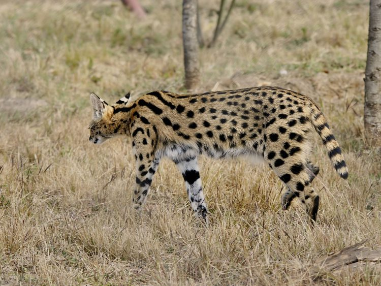 Der Serval