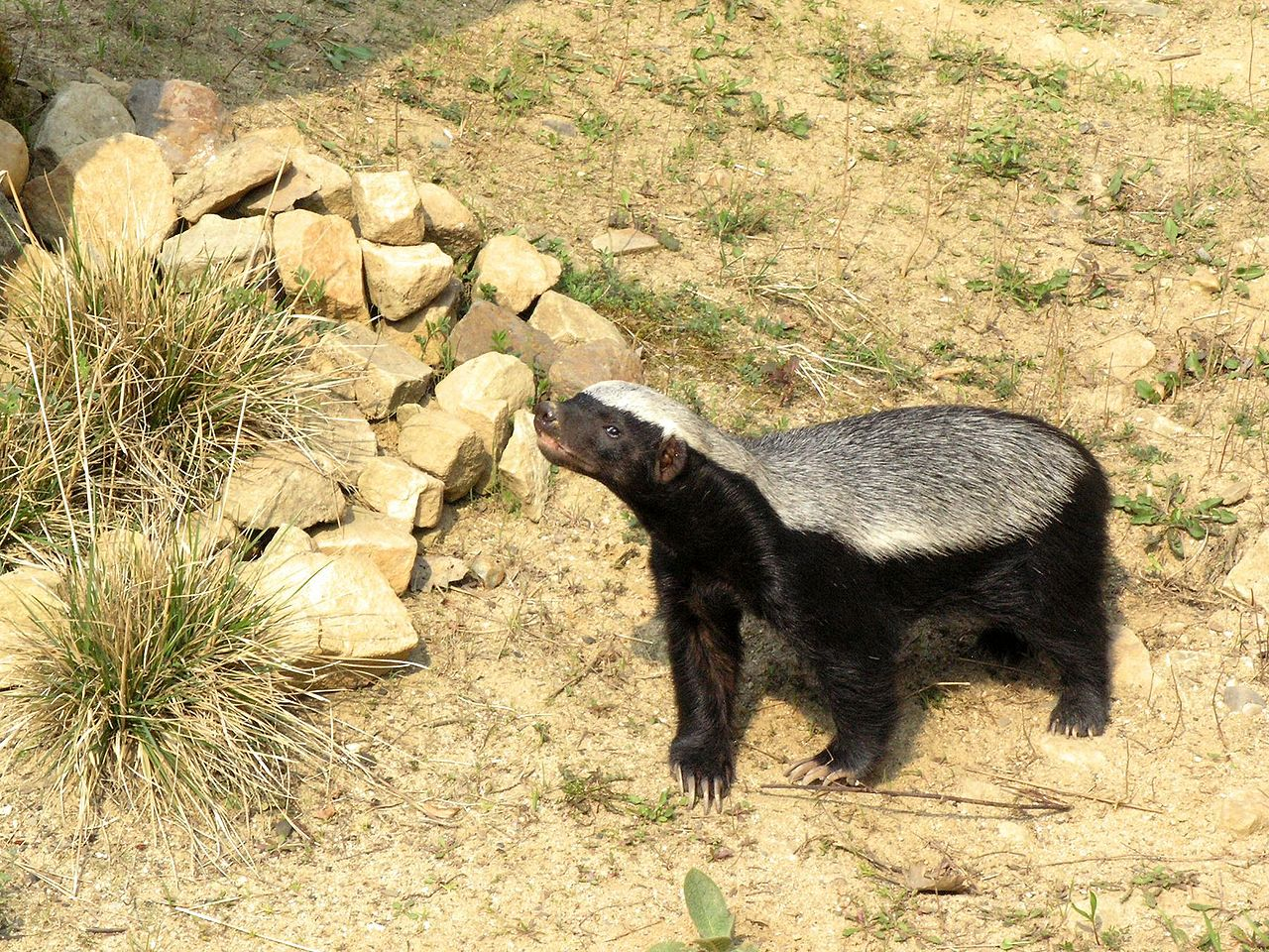 honey-badger-hissing
