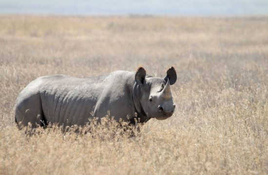 black-rhino-within-grass-surroundings