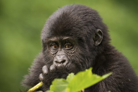 A young gorilla munches on a plant stalk