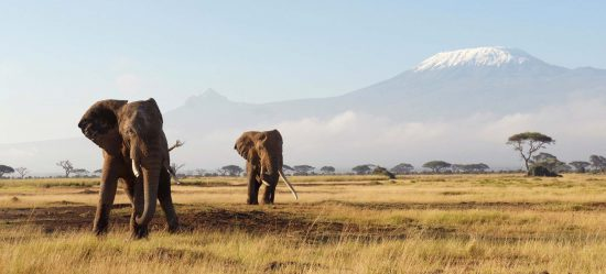 Zwei Elefanten in der Savanne vor dem malerischen Kilimandscharo