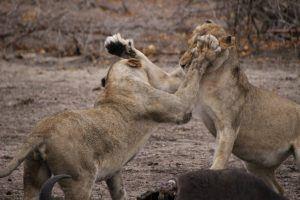 Deux lions s'affrontant pour du gibier à Sabi Sand