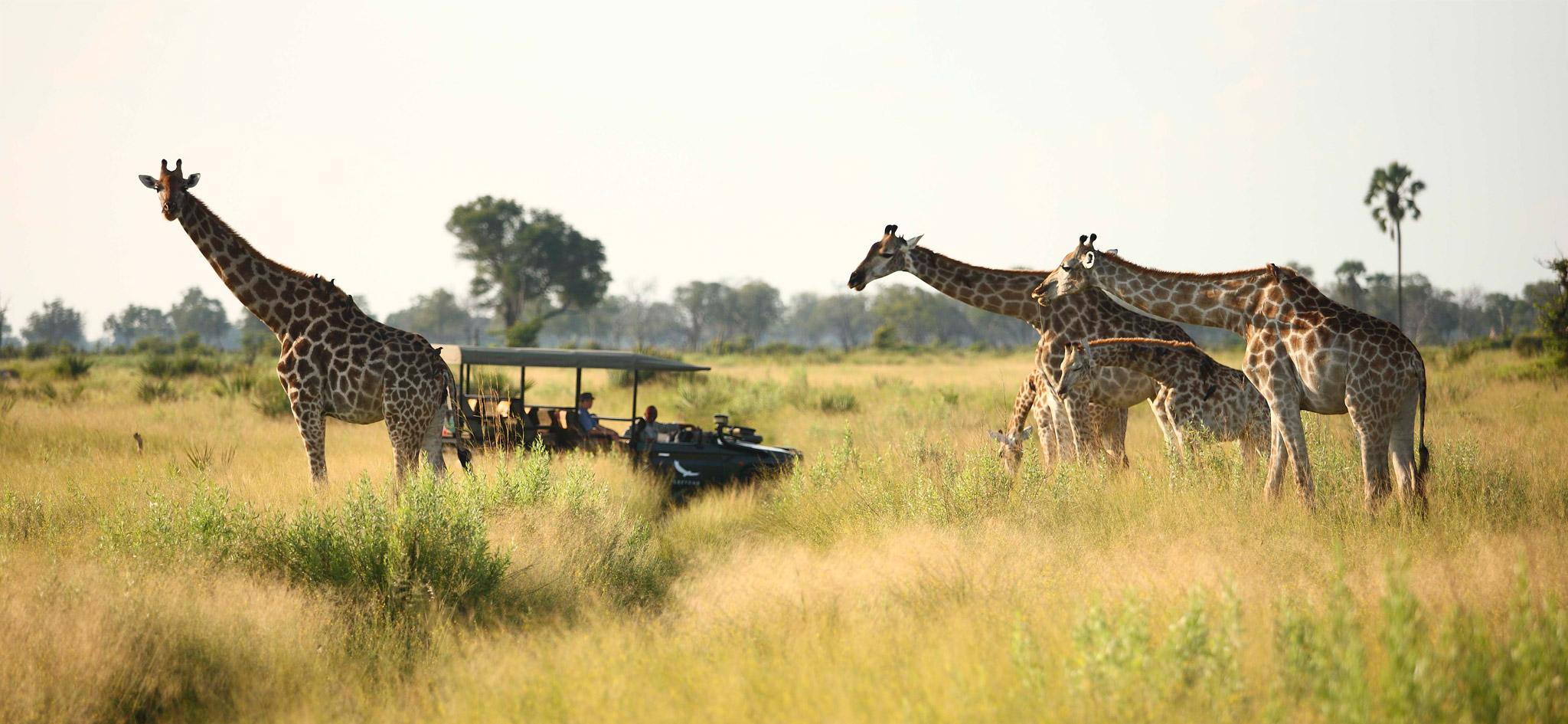 game-drive-with-five-giraffe