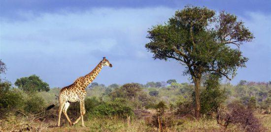 Girafa perto de uma árvore no Kruger Park
