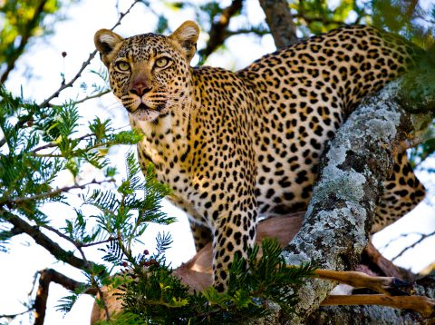 A leopard with his meal in the tree