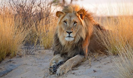 Male lion lying on sand at sunset