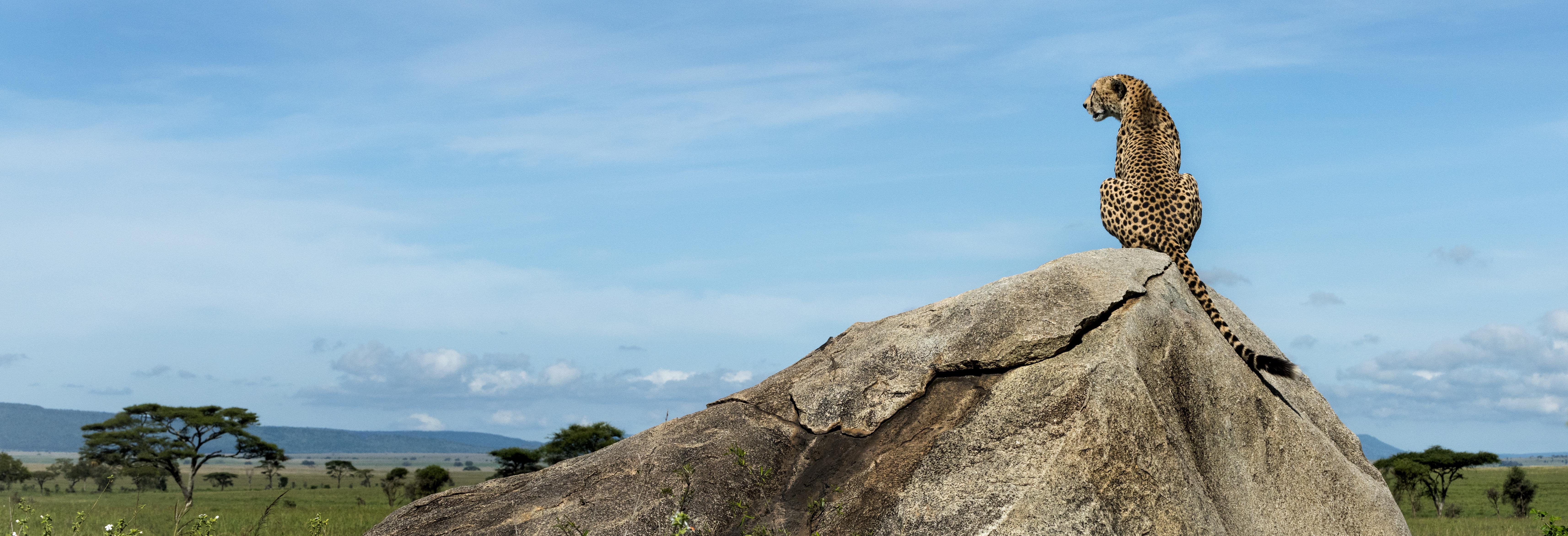 majestic cheetah on rock contemplating life