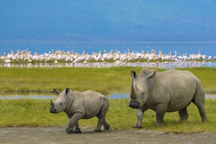 Rinoceronte hembra con su cría en el cráter Ngorongoro