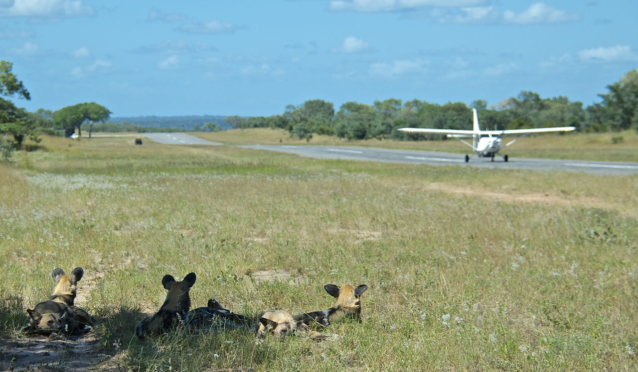 airplane-landing-on-runway-and-three-wild-dogs