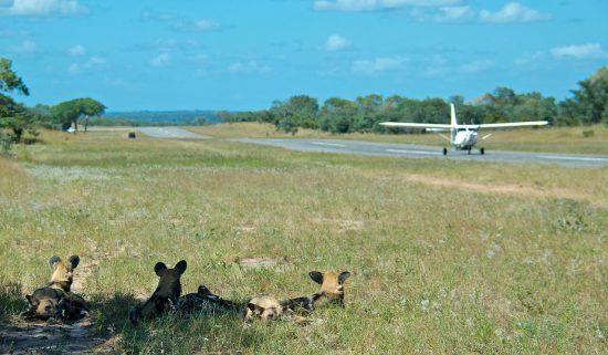 Resting wild dogs watch the action on the airstrip