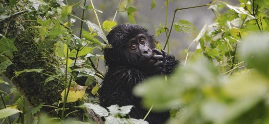 Baby gorilla in Bwindi National Park