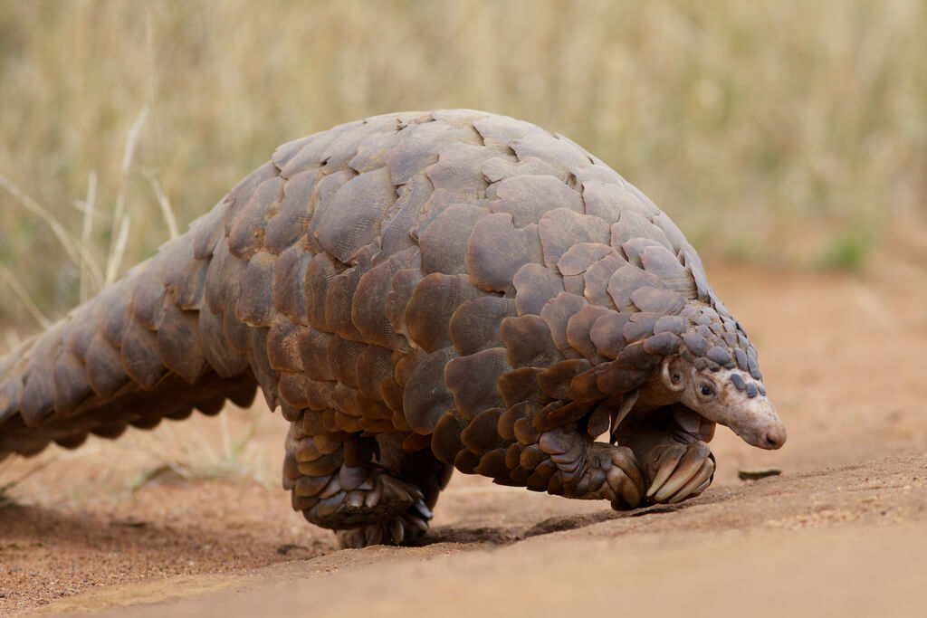Northern Hairy The Rare Pangolin Is Treat To See Philadelphia Zoo Rare Animals You Will Be Lucky To See On Safari Rhino Africa Blog