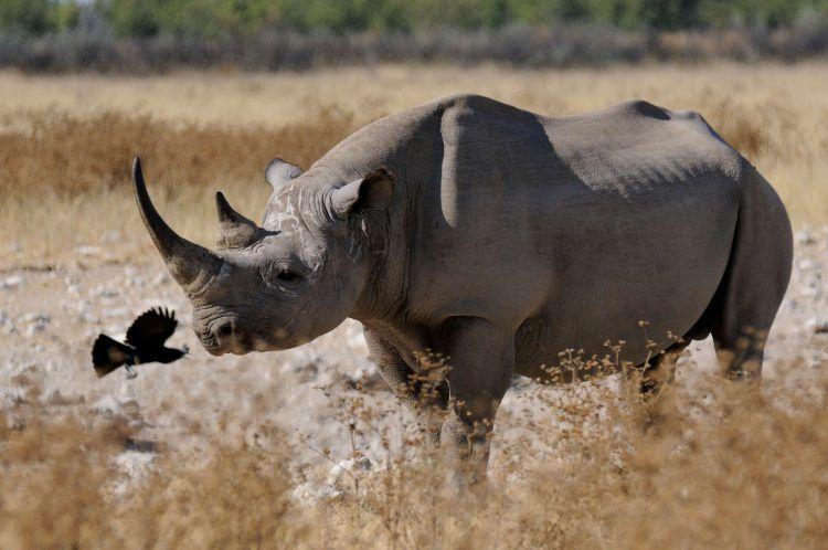 Rhinocéros noir dans la savane avec un oiseau le débarassant de ses parasites.