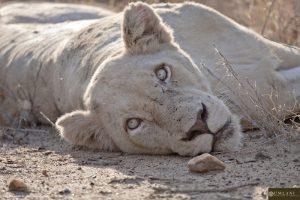 Lionne blanche allongée dans la savane