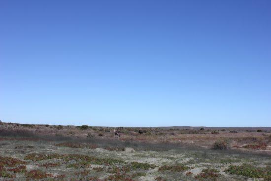 Autruches dans le Parc National du lagon de Langebaan