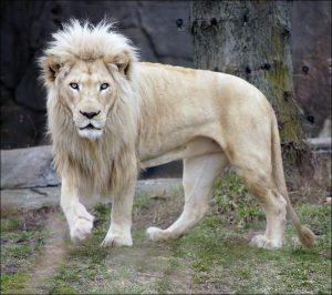 Lion blanc dans un zoo