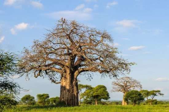 Baobab tree with vultures on top