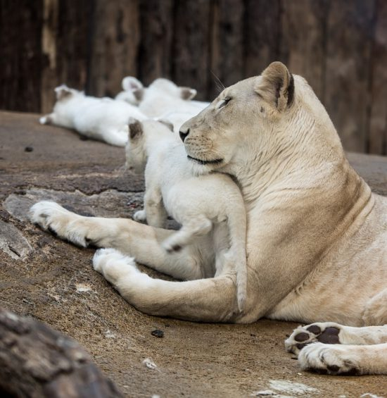 A mother with her white lion cubs