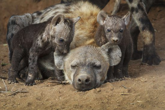 A mother hyena with her two cubs