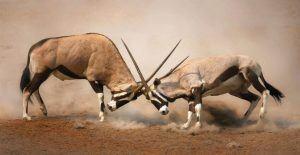 Deux oryx se battant au Parc National d'Etosha, Namibie