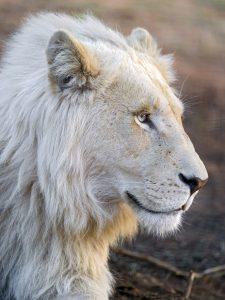 Lion blanc de profil